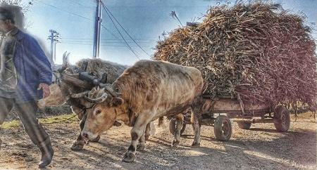Carul cu boi
